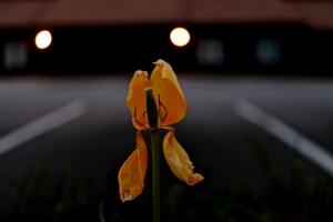 Tulipe Crépusculaire